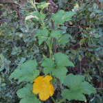 Pumpkin vine as tall as me!