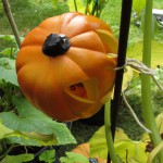Fake Pumpkins wtih Real Pumpkin Vines