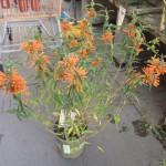 New favorite plant: Lion's Tail!