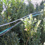 """Hidden"" cable runs through the boxwood hedge"