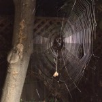 Gorgeous orb web in action catching dinner!