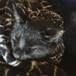 Obsidian snoozing in his web collar on the plush web blanket...cozy!